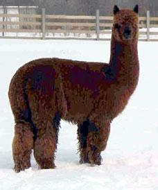 756ea8e38146d2 Huacaya and Suri alpacas