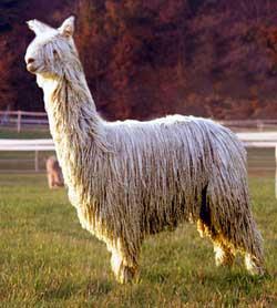 42b21a599cca3c ... huacaya alpaca, suri alpaca